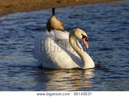 The Strong Mute Swan Is Swimming