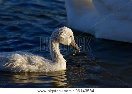 The Young Swan Is Eating Algae