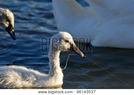 The Young Mute Swan Is Swimming And Eating