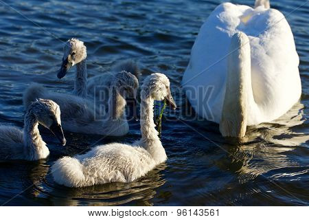 The Swans Family