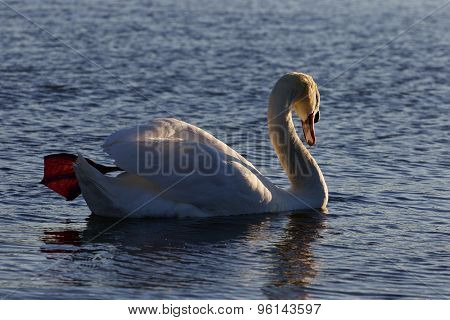 Beautiful Background With The Mute Swan Swimming On The Sunny Evening