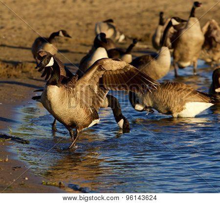 Beautiful Canada Geese On The Beach