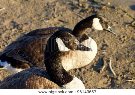 Beautiful Couple Of The Canada Geese