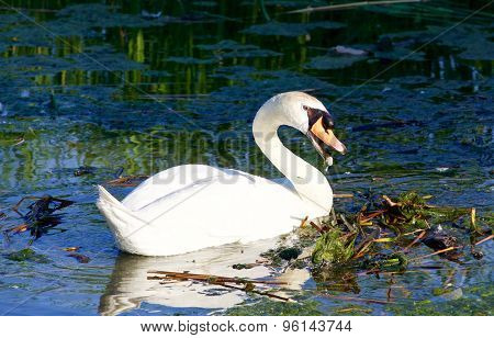 Beautiful Strong Mute Swan Is Trying To Clean The Territory