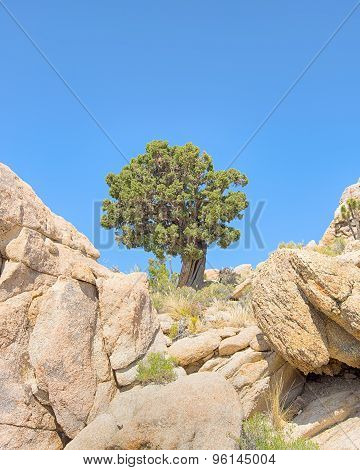 Sentinel Tree, Teutonia Peak Trail, Mojave National Preserve, CA