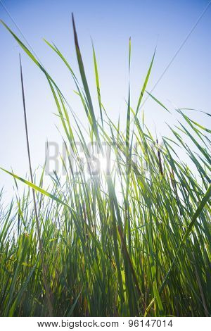 Close up of large grass blades with sun glare