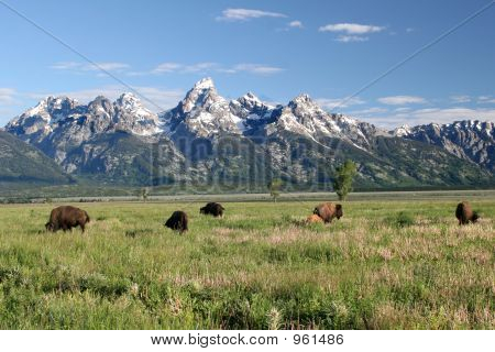 Buffalo In The Tetons