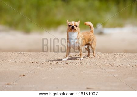 adorable chihuahua dog on the beach