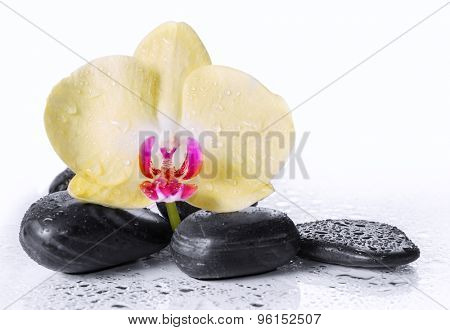 Yellow orchid and zen Stones with drops of dew.