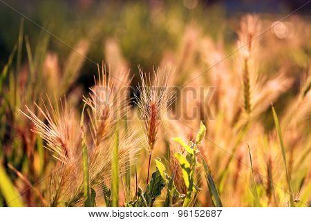 Field spikelets, outdoors