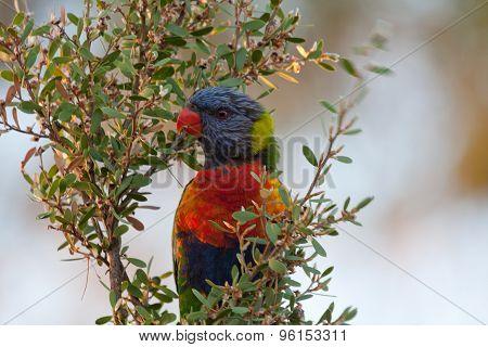 Rainbow Lorikeet - Stock image