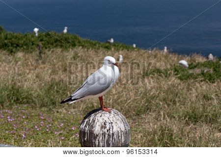 Courious Seagull
