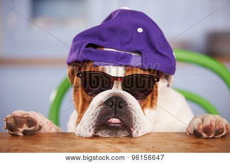 Sad Looking British Bulldog Wearing Baseball Cap