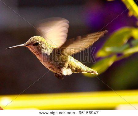 Humming Bird Hover