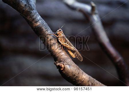 Desert locust (Schistocerca gregaria). Wildlife animal.