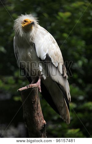 Egyptian vulture (Neophron percnopterus), also known as the white scavenger vulture. Wildlife animal.