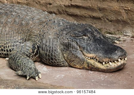 American alligator (Alligator mississippiensis). Wildlife animal.