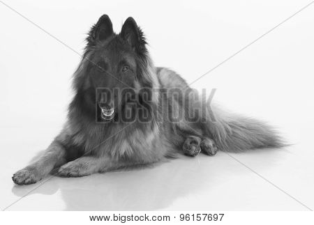 Dog, Belgian Shepherd Tervuren, Isolated Black And White
