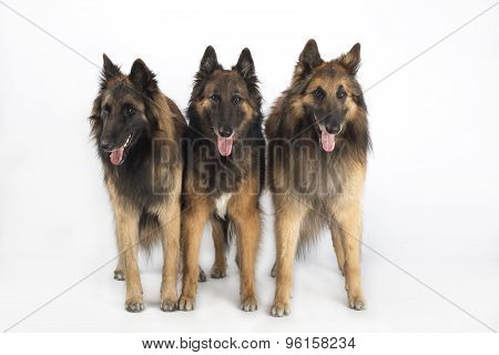 Three Dogs, Belgian Shepherd Tervuren, Standing, Isolated On White Studio Background
