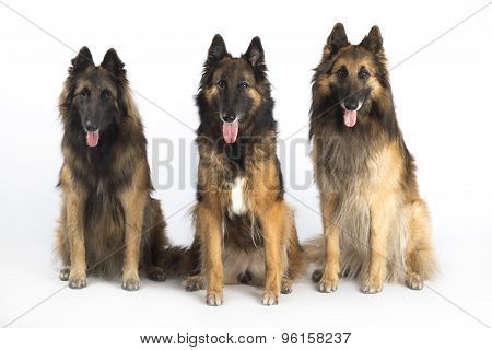 Three Dogs, Belgian Shepherd Tervuren, Sitting, Isolated On White Studio Background