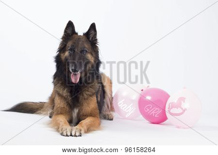 Dog, Belgian Shepherd, Tervuren, With Pink Balloons For A Newborn Baby Girl, Isolated