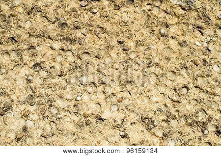 Sediment Rock With Fossilized Seashells