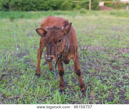 pretty little calf standing alone