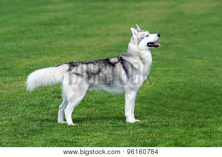 Husky dog on the grass.