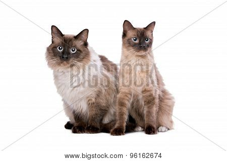 Couple Of Ragdoll Cats