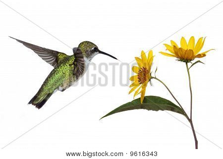 Hummingbird And A Sunflower