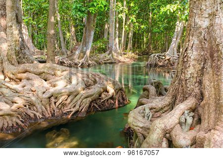 Mangrove trees along the turquoise green water in the stream