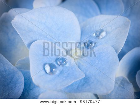 Blue Hydrangea Flower With Dew