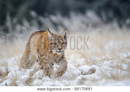 Eurasian Lynx Cub Walking On Snow With High Yellow Grass On Background