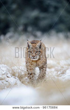Eurasian Lynx Cub On Snowy Ground
