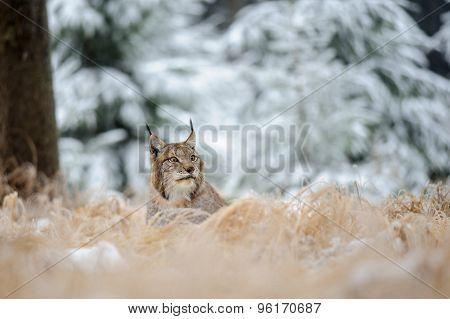 Eurasian Lynx Lying On Ground In Winter Time