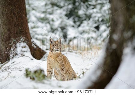 Eurasian Lynx Cub Sitting In Winter Colorful Forest With Snow