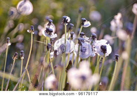 Blur Spring  Dandelion Heads After Blossoming Background