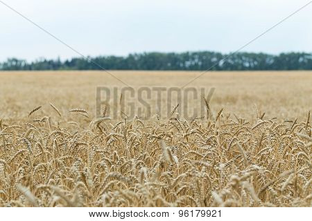 Wheat crop ripens in farmer's field.