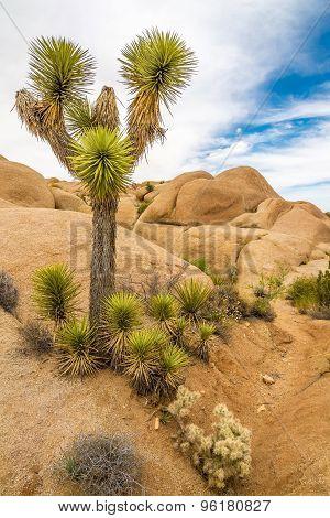 Joshua Tree In Jumbo Rocks - Joshua Tree N.p.