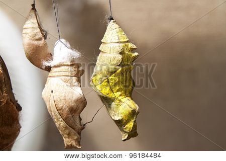 Butterfly Cocoons Hanging on a Twig