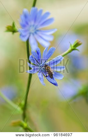 Close up of a bee pollinating blue chicory flower (cichorium intybus), shallow focus