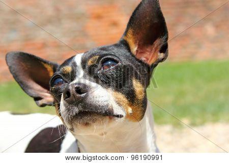 Curious Chihuahua Portrait