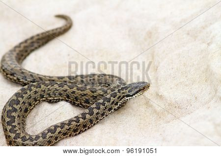 Elusive Meadow Adder On Burlap