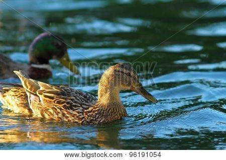 Female Mallard On Water Surface