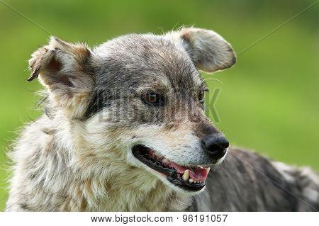 Feral Grey Dog Portrait