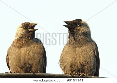 Jackdaws At A Chat