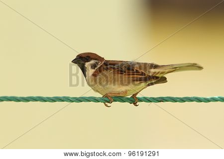 Male House Sparrow On Green String