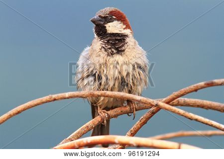 Male House Sparrow Perched On Twigs