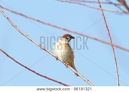 Male Sparrow On Twig