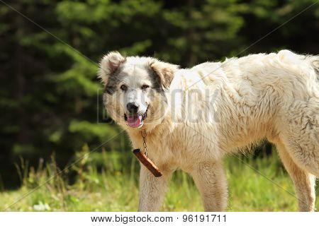 Romanian Shepherd Dog Closeup